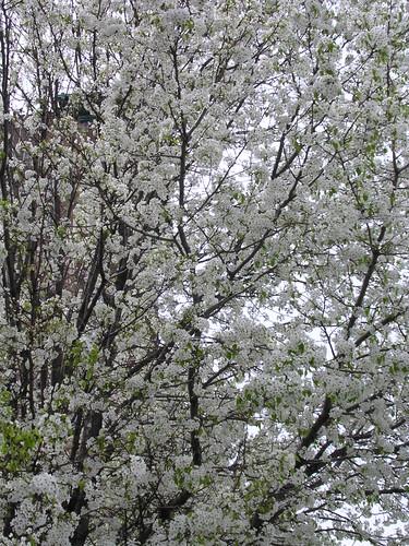 spring floweringtrees