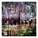 Wisteria festival