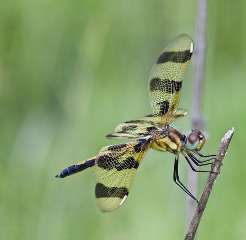 kh0831 bearswamp naturesfinest insect dragonfly nj odonta