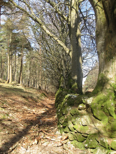 Ancient trees upon an ancient wall along the Wicklow Way