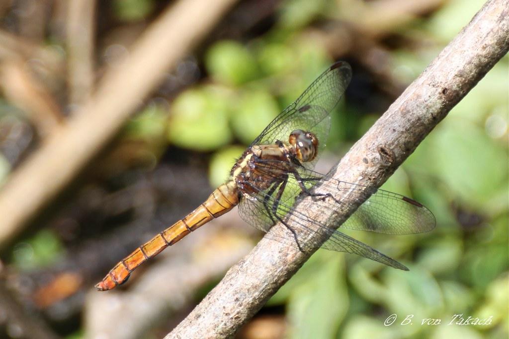 Skimmer dragonfly (Orthetrum sp.)