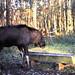 Flickr photo 'Moose' by: kostolany244.