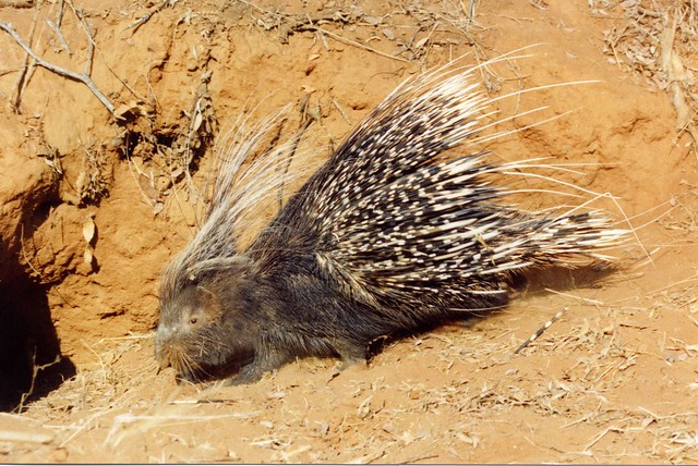 Cape porcupine, Nylsvley, South Africa