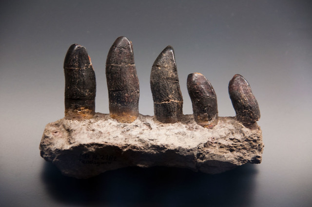 Brachiosaurus Teeth