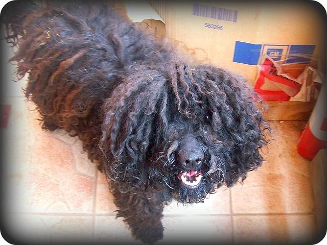 Hungarian dog- A mi kis pulink