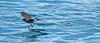 Elliot's Storm-petrel (Oceanites gracilis) by birdingbilly