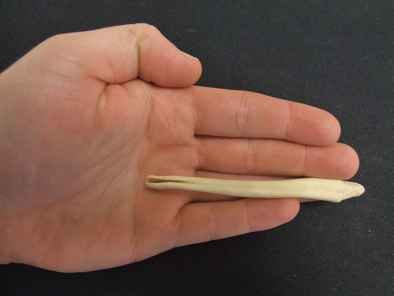 River Otter Baculum: Superior