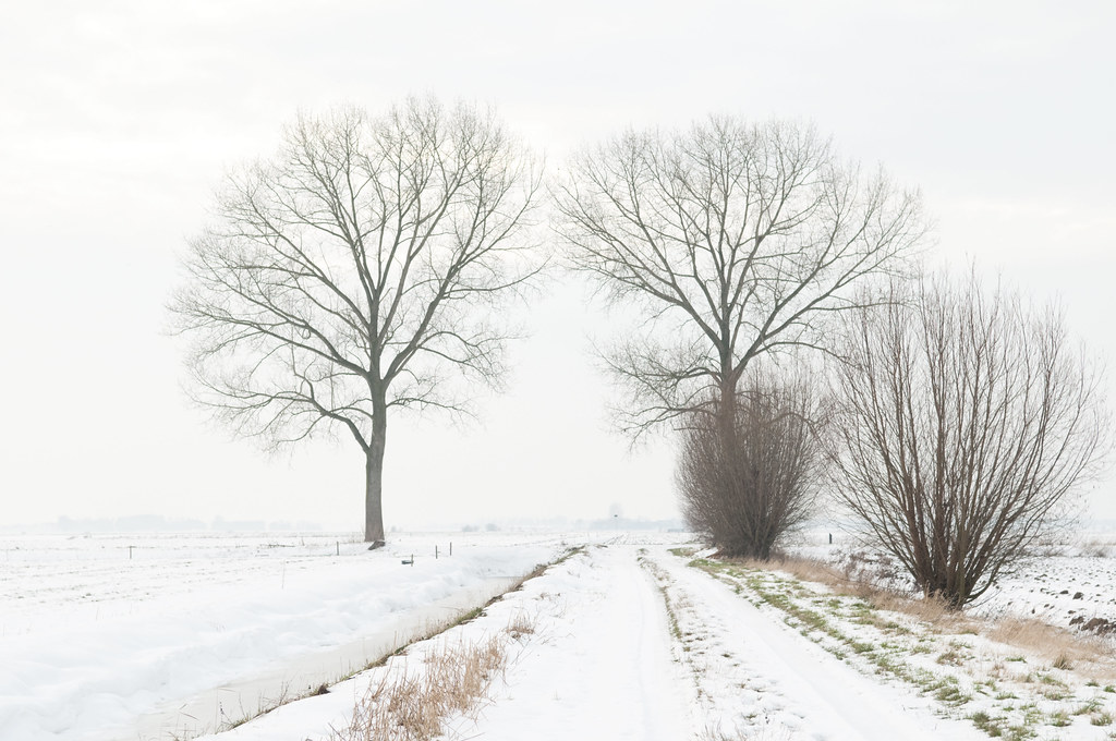 Winter in de polder, populieren overbelicht  Winter in our polder; overlighted.