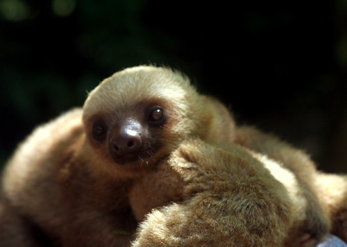Baby sloth, being cute | by ndanger