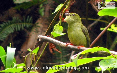 White-bearded Manakin - Manacus manacus (female) 2 - Cocorna, Magdalena Valley | by COLOMBIA Birding (Diego Calderon)