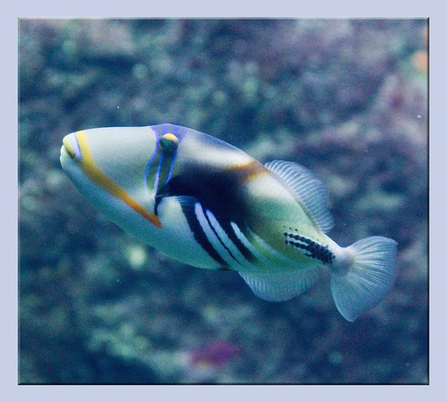 Periwinkle Blue Fish