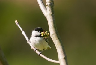 Chicadee, April, PA. | by Kelly Colgan Azar