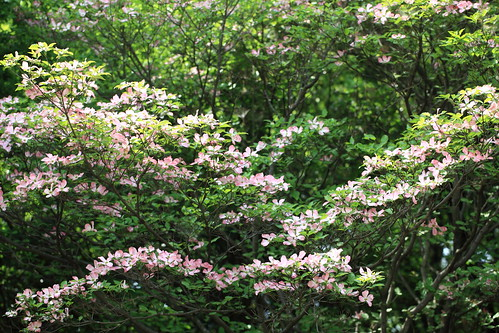 Flowering Dogwood / Cornus florida / 花水木(ハナミズキ) | by TANAKA Juuyoh (田中十洋)