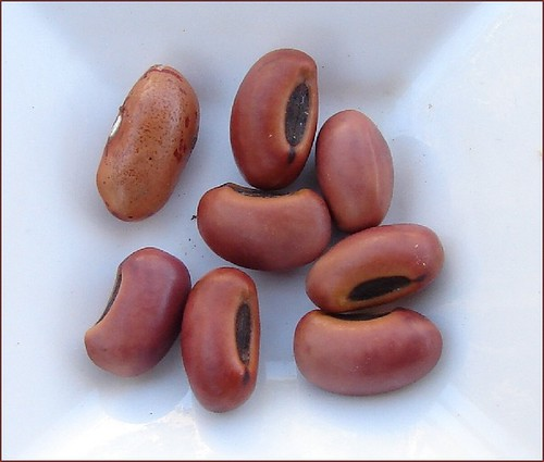 Seeds of Beach coral tree - Erythrina variegata | by Tatters ✾