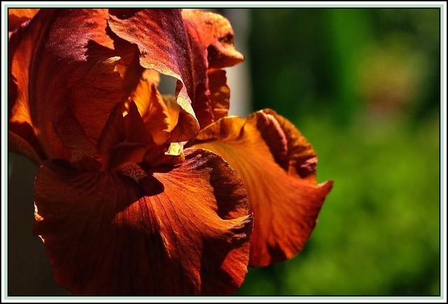Coppered iris