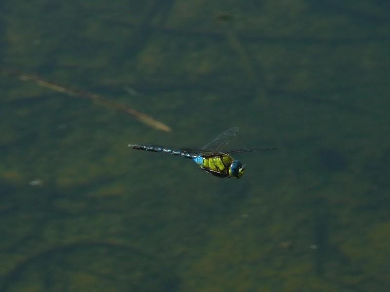 Anax nigrofasciatus nigrofasciatus in flight