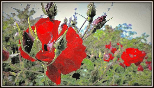 Róża z pąkami +