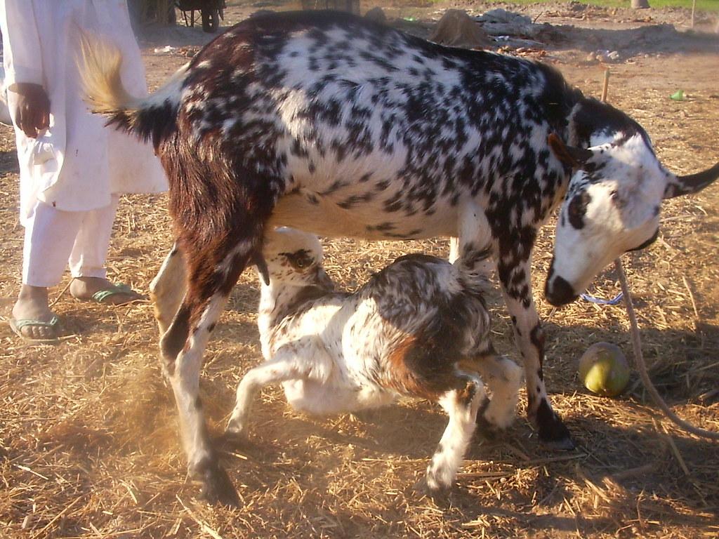 barbari goat | barbari goat karachi sindh | RAZIQ ABDUL | Flickr