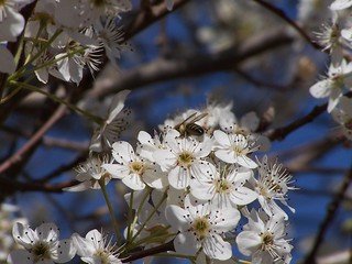 The Bee and the Bradford Pear Tree