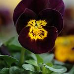 Viola wittrockiana