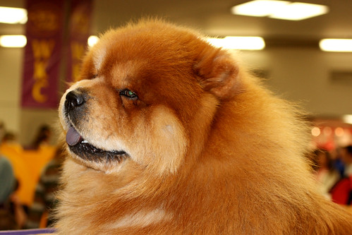 Westminster Dog Show Chow Chow