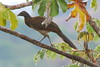 Gray-headed Chachalaca-Ortalis cinereiceps by sail121j