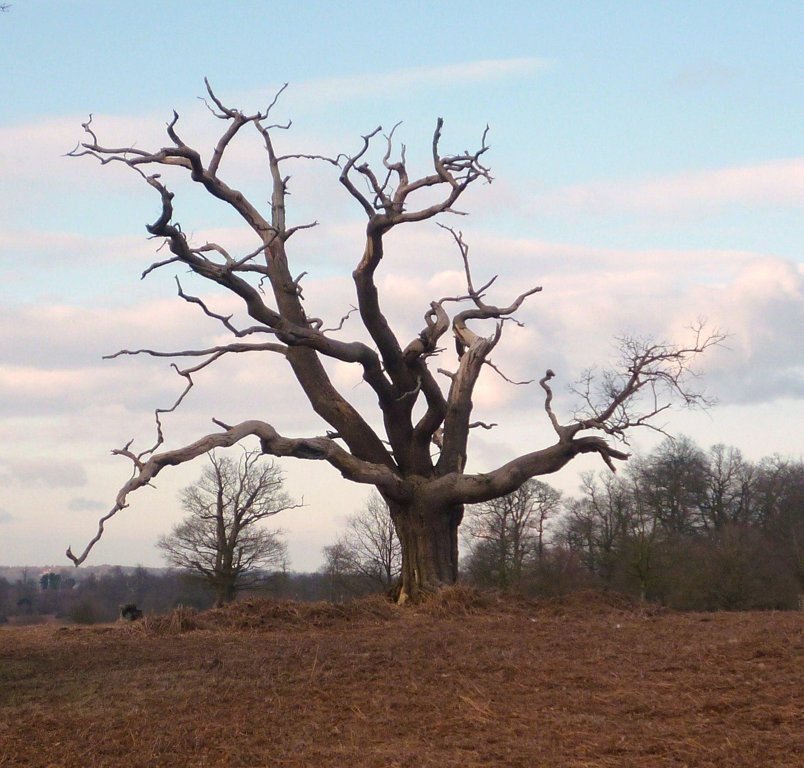 Dead Tree, Knole Park SWC Free walk - Sevenoaks Circular walk 21