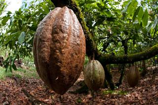 Cacao San Francisco de Macorís | by mdelcid