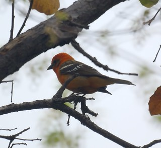 Flame-colored Tanager | by Mike's Birds