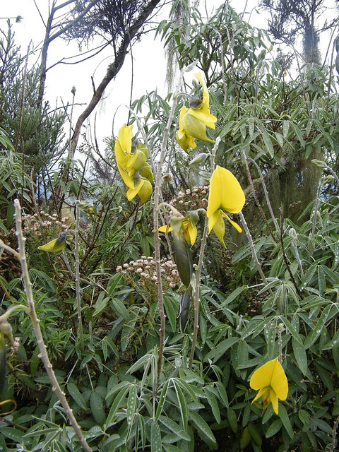 Crotalaria agatiflora