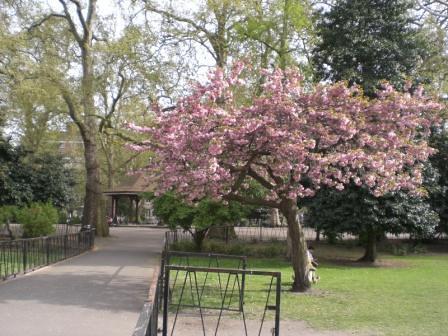 Ornamental Cheery Tree - Lincoln's Inn Fields