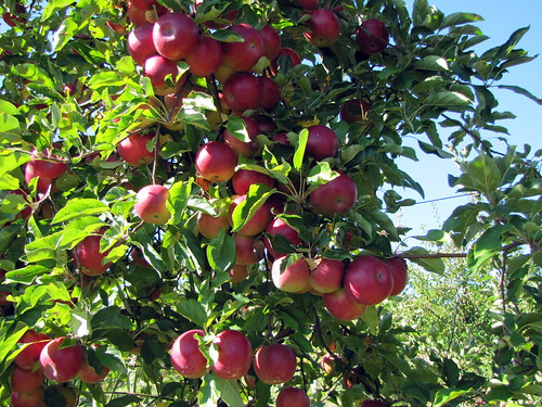 Apple Picking at Apple Hills Fruit Farm   by David Berkowitz