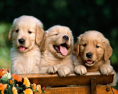 golden-retriever-puppies | by kinjengsubmiter