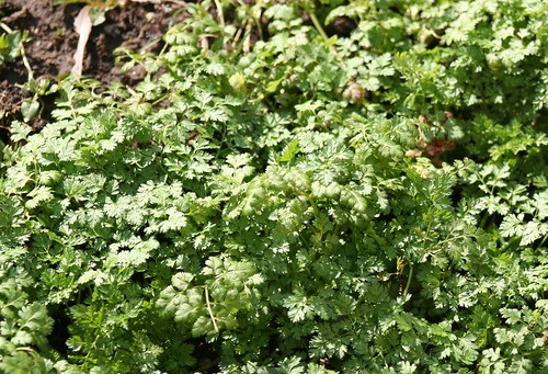 Chervil in Winter Time | by Alexandre Dulaunoy