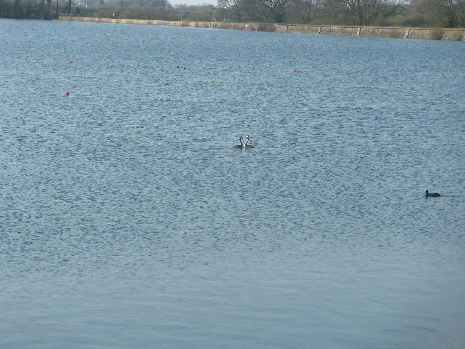 Grebes, at it Tring to Wendover