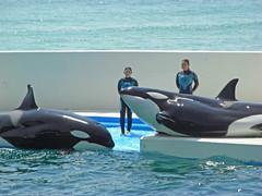日, 2010-05-02 10:26 - しゃちのパフォーマンス Killer Whale performance