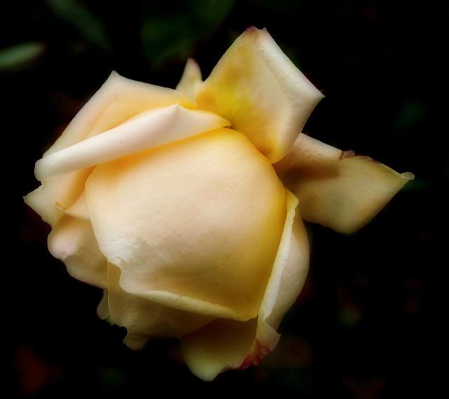Roses .......