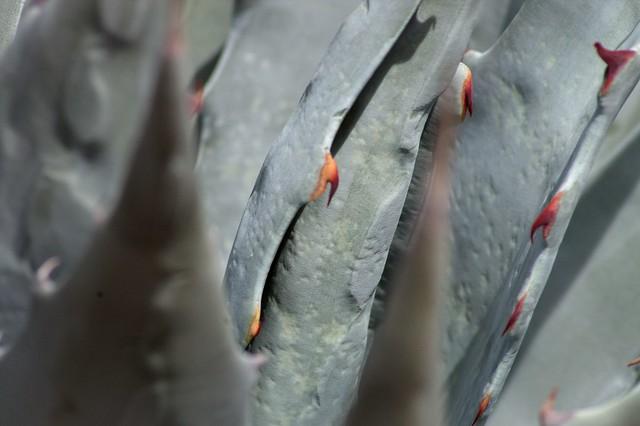 imgp0890 - Desert Agave Thorns