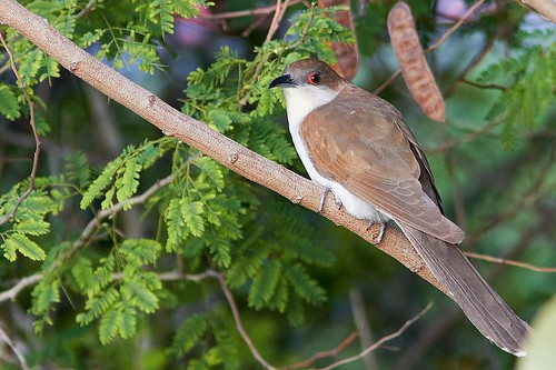 Black-billed Cuckoo (Coccyzus erythropthalmus) | by Stefan Johansson.