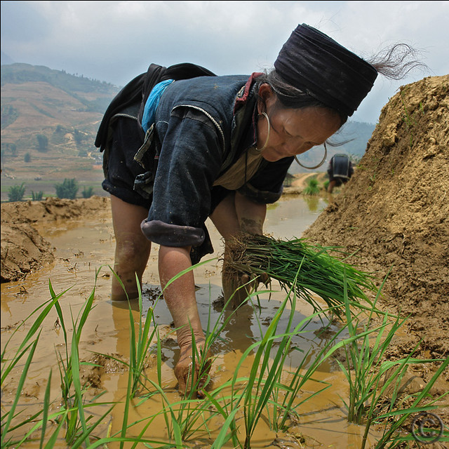 We are planting the Rice now