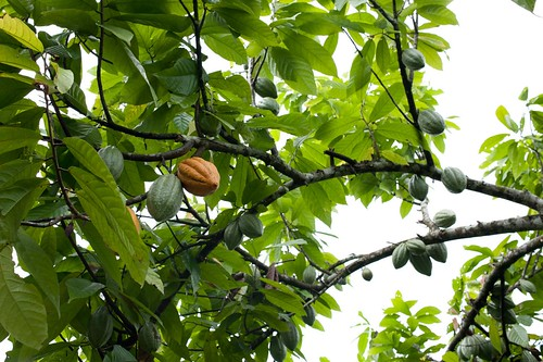 cacao fruits | by skinnydiver