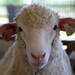 Sheep USA
