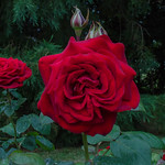 Burgundy roses