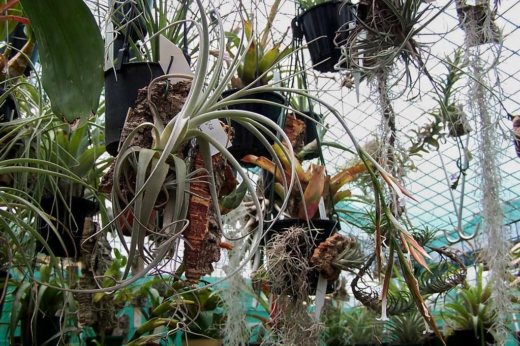 Tillandsia Lorentziana Soft Leaf Rainforest Flora Photo Ta Flickr