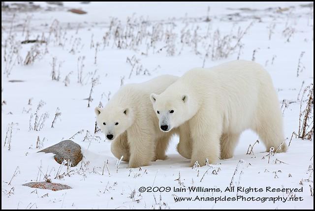 Polar Bear Cub & Mother, Arctic Canada