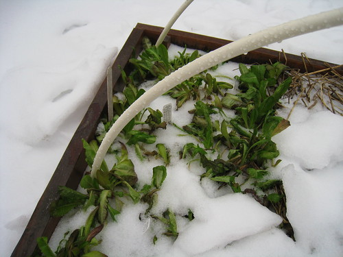 lettuce in the snow | by boodely