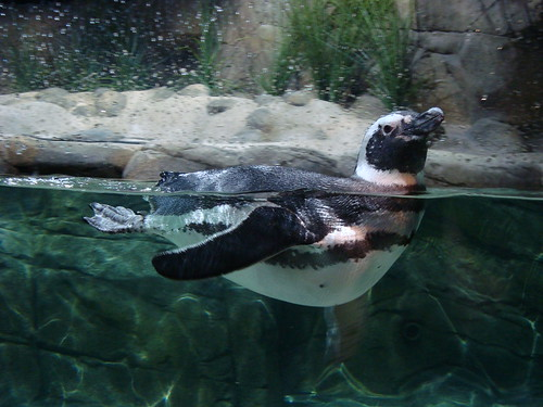 099Magellanic Penguin, Monterey Bay Aquarium | by SeeMonterey