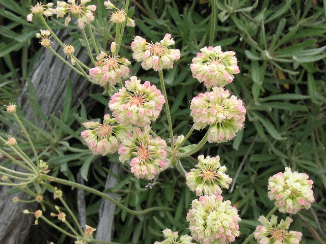 Parsnip-flower Buckwheat