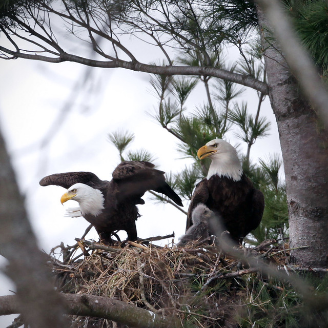 Spring Nesting Eagles April 3, 2010