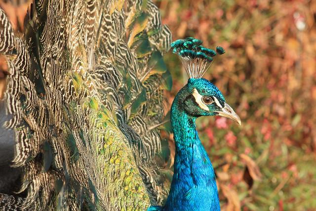 Les paons des jardins de Bagatelle